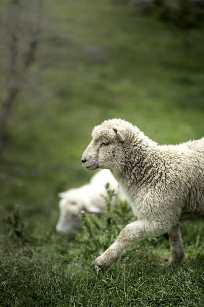 Lammas laitumella